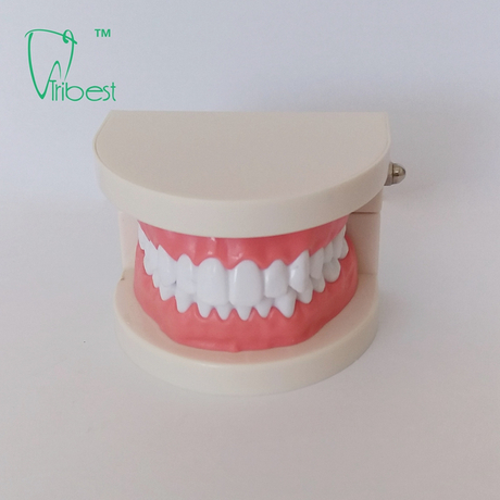 Dental Teeth Model